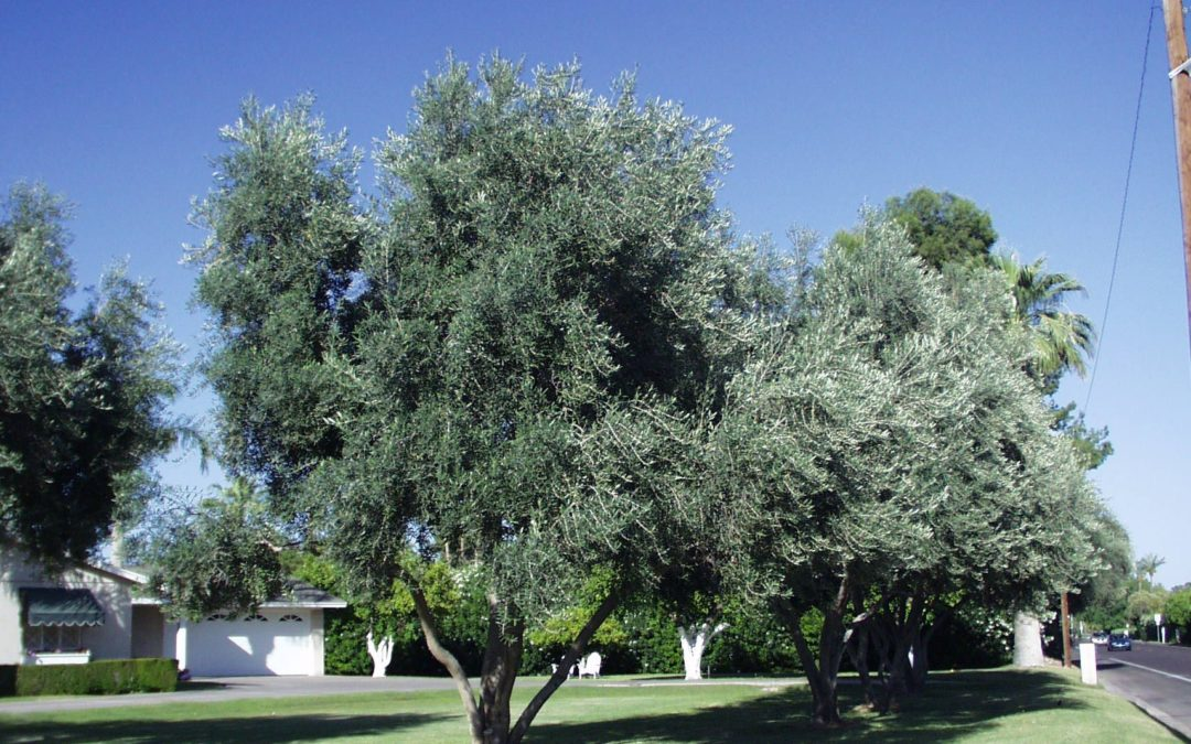 Prevent A Huge Mess From Olive Trees!