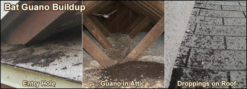 Guano: Sexy name for Bat Poop! Major Nuisance in Your Home!