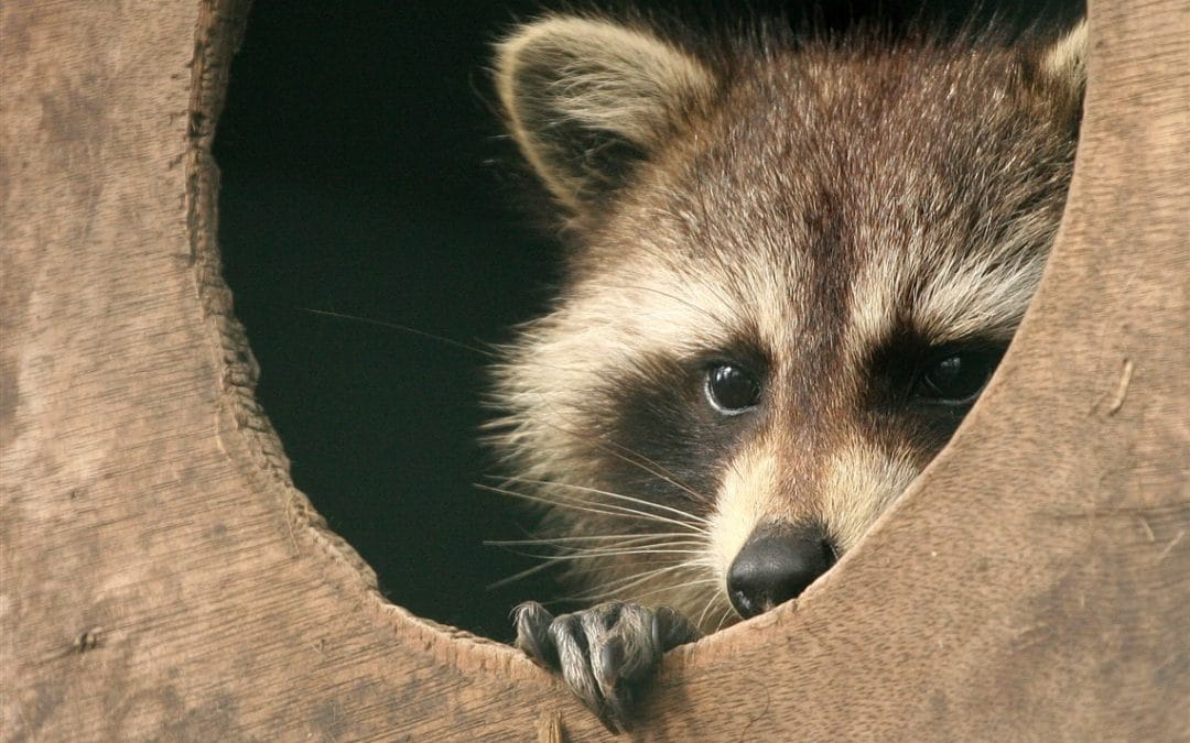 Raccoons are a Protected Species, so Protect Them From Your Home!