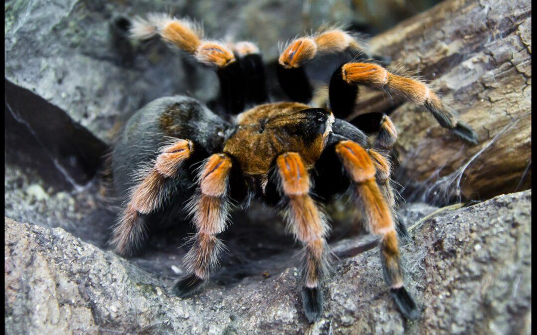 Tarantulas: Pest or Pet?