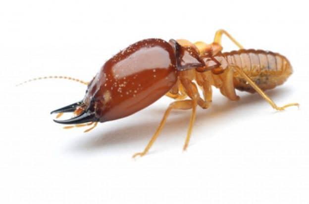 Termites: Drywood vs. Subterranean