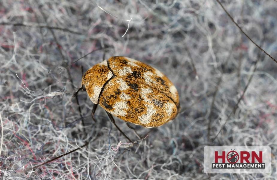 Carpet beetles: Big damage from a little bug