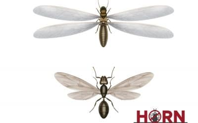 Differences between flying ants and termites